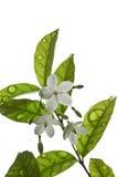 Chiuda su un gelsomino del fiore. sulla foto di riserva. Immagini Stock