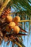 Chiuda su un mazzo di noce di cocco gialla fotografia stock