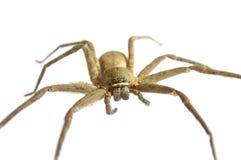 Chiuda su su un ragno asiatico isolato fotografia stock libera da diritti
