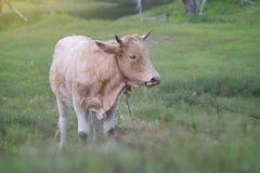 chiuda su una mucca che sta su un campo di erba verde con priorità alta e fondo vaghi, l'immagine filtrata, fuoco selettivo Immagini Stock Libere da Diritti