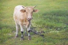 chiuda su una mucca che sta su un campo di erba verde con priorità alta e fondo vaghi, l'immagine filtrata, fuoco selettivo Immagini Stock