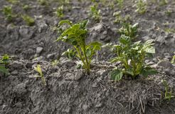 Chiuda su su una pianta della patata su un campo verde dei raccolti della patata in una fila agricoltura crescere Prodotto natura fotografia stock libera da diritti