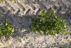 Chiuda su su una pianta della patata su un campo verde dei raccolti della patata in una fila agricoltura crescere Prodotto natura fotografie stock libere da diritti