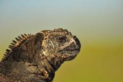Chiuda su su una testa dell'iguana fotografia stock