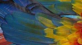 Chiuda su variopinto delle piume del ` s dell'uccello dell'ara macao con le tonalità giallo arancione e blu rosse, il fondo esoti immagini stock