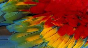 Chiuda su variopinto delle piume del ` s dell'uccello dell'ara macao con le tonalità giallo arancione e blu rosse, il fondo esoti fotografie stock libere da diritti