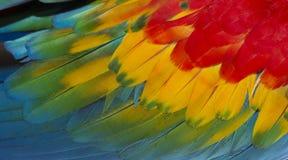 Chiuda su variopinto delle piume del ` s dell'uccello dell'ara macao con le tonalità giallo arancione e blu rosse, il fondo esoti immagine stock libera da diritti