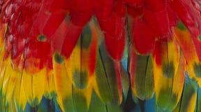 Chiuda su variopinto delle piume del ` s dell'uccello dell'ara macao con le tonalità giallo arancione e blu rosse, il fondo esoti immagini stock libere da diritti