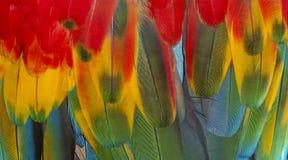 Chiuda su variopinto delle piume del ` s dell'uccello dell'ara macao con le tonalità giallo arancione e blu rosse, il fondo esoti fotografie stock