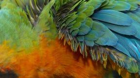 Chiuda su variopinto di Catalina Macaw Hybrid fra l'ara macao e le piume blu e gialle del ` s dell'uccello dell'ara immagini stock
