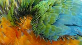 Chiuda su variopinto di Catalina Macaw Hybrid fra l'ara macao e le piume blu e gialle del ` s dell'uccello dell'ara fotografia stock