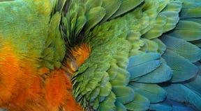 Chiuda su variopinto di Catalina Macaw Hybrid fra l'ara macao e le piume blu e gialle del ` s dell'uccello dell'ara immagine stock libera da diritti