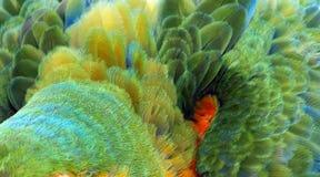 Chiuda su variopinto di Catalina Macaw Hybrid fra l'ara macao e le piume dell'uccello blu e gialle dell'ara con il ora giallo ros fotografia stock libera da diritti