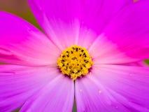 Chiuda sugli stami di un fiore dell'universo Fotografia Stock