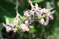 Chiuda sui bei fiori porpora di Calotropis sul fondo verde della foglia per fondo o il contesto immagini stock