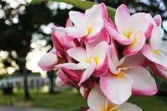 Chiuda sui bei fiori stupefacenti del frangipane di plumeria sul fiore bianco e rosa del fondo di colore verde del parco, del fra Fotografie Stock