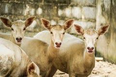 chiuda sui cervi allo zoo Immagine Stock Libera da Diritti