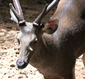 Chiuda sui cervi in zoo Immagine Stock