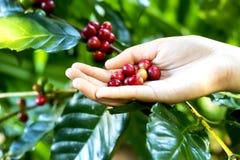 Chiuda sui chicchi di caffè rossi delle bacche sul backgrou della mano dell'agricoltore Fotografie Stock Libere da Diritti