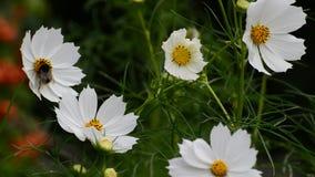 Chiuda sui fiori bianchi dell'universo in giardino stock footage