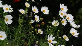 Chiuda sui fiori bianchi dell'universo in giardino archivi video
