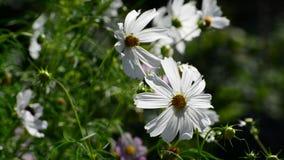Chiuda sui fiori bianchi dell'universo in giardino video d archivio