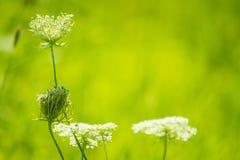 Chiuda sui fiori bianchi hogweed terreno comunale di heracleum sphondylium su fondo verde fresco fotografia stock libera da diritti