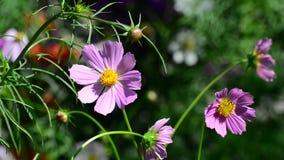 Chiuda sui fiori dell'universo in giardino video d archivio