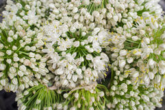 Chiuda sui fiori della cipolla Fotografie Stock