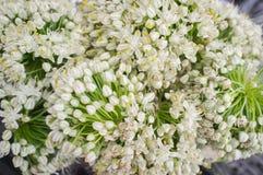 Chiuda sui fiori della cipolla Immagine Stock