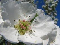 Chiuda sui fiori della pera contro il cielo blu nell'ambito dei sunlights Immagini Stock Libere da Diritti