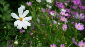 Chiuda sui fiori delle margherite in giardino stock footage