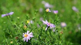 Chiuda sui fiori delle margherite in giardino archivi video