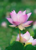Chiuda sui fiori di loto di rosa del petalo nello stagno di acqua Immagine Stock Libera da Diritti