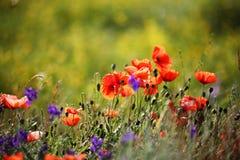 Chiuda sui fiori e sull'erba del papavero su un prato fotografia stock libera da diritti