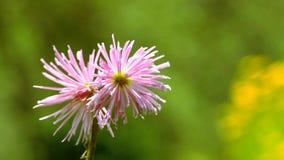 Chiuda sui fiori in giardino, fioritura rosa dei fiori dell'estate stock footage