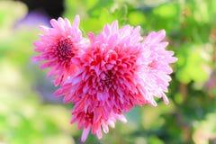 Chiuda sui fiori rosa in un campo Fotografie Stock