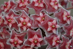 Chiuda sui fiori rossi di Hoya (Parasitica di Hoya) Fotografia Stock Libera da Diritti