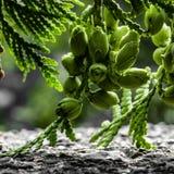 Chiuda sui germogli del cedro Fotografia Stock