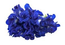 Chiuda sui macro fiori del pisello blu della farfalla su fondo bianco Fotografia Stock Libera da Diritti