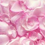 Chiuda sui petali rosa viola Struttura Immagine Stock