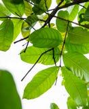 Chiuda sui rami e sulle foglie verde intenso dall'angolo basso su sunn Fotografia Stock