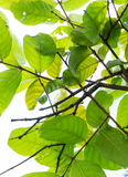Chiuda sui rami e sulle foglie verde intenso dall'angolo basso su sunn Immagini Stock