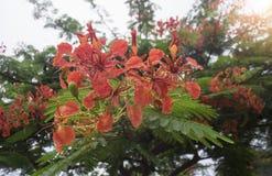 Chiuda sul bei poinciana, fiore di pavone, fiore di Gulmohar e goccia di acqua di pioggia con il fondo della sfuocatura, immagine Fotografie Stock