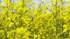 Chiuda sul bello fiore del giacimento del seme di ravizzone stock footage