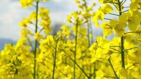 Chiuda sul bello fiore del giacimento del seme di ravizzone archivi video