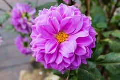 Chiuda sul bello fiore porpora della dalia che fiorisce nel giardino Fotografia Stock Libera da Diritti