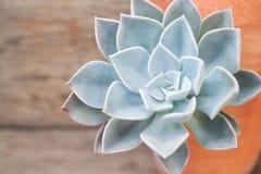 Chiuda sul bello petalo del succulente, del deco del succulente e del cactus Immagine Stock Libera da Diritti