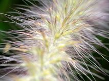 Chiuda sul bloomimg del fiore dell'erba Fotografia Stock Libera da Diritti