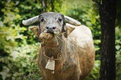 Chiuda sul bufalo che mangia l'erba verde, Tailandia Fotografia Stock
